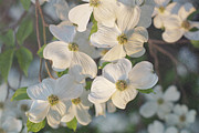 Morning Flower Prints - Dogwood Blossoms Print by Kay Pickens