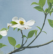 Dogwood Blossom Photo Metal Prints - Dogwood Blossoms Metal Print by Kim Hojnacki