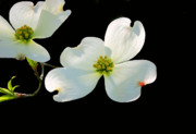 Dogwood Blossoms Print by Kristin Elmquist