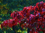 Dogwood Branch In Autumn Print by Bill Shuman