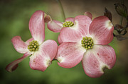 Lynn Bauer Prints - Dogwood Days of Summer Print by Lynn Bauer