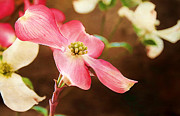 Color Symbolism Prints - Dogwood Elegance Print by Darren Fisher
