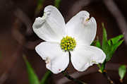Paul Mashburn Art - Dogwood Flower by Paul Mashburn