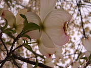 Indiana Dogwood Trees Photos - Dogwood Flowers 01 by Matthew Patenaude