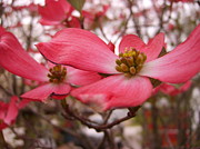 Indiana Dogwood Trees Photos - Dogwood Flowers 03 by Matthew Patenaude