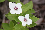 Ginger Bear - Dogwood Ground Cover
