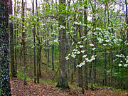 Dogwood In Meriwether Lewis Campground At Mile 386 Of Natchez Trace Parkway-tn Print by Ruth Hager