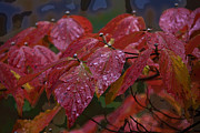 Frank Tozier - Dogwood leaves in au...