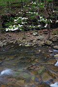 Richland Creek Wilderness Prints - Dogwood on Richland Creek Print by Matthew Parks