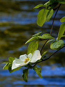 Merced River Prints - Dogwood on the Merced Print by Bill Gallagher