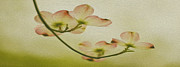 Dogwood Blossom Metal Prints - Dogwood Panoramic Metal Print by Cheryl Young