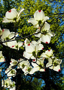 Photorealistic Framed Prints - Dogwood spring Framed Print by Kathleen Bishop