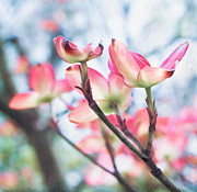 Blooming Tree Posters - Dogwood Tree Poster by Colleen Kammerer
