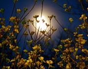 Judy Via-Wolff - Dogwoods and Moonlight