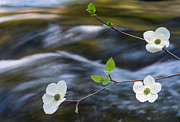 About Light  Images - Dogwoods and River
