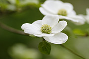 Dogwood Photos - Dogwoods by Rebecca Cozart