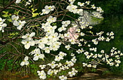Melly Terpening Paintings - Dogwoods Virginia by Melly Terpening