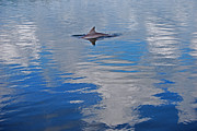 Dolphin Art Prints - Dolphin Highlights Print by Skip Willits