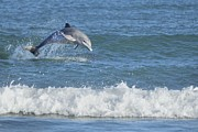 Dolphin In Surf Print by Bradford Martin
