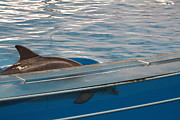 Tourist Prints - Dolphin Show - National Aquarium in Baltimore MD - 121213 Print by DC Photographer