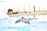 Md Prints - Dolphin Show - National Aquarium in Baltimore MD - 1212165 Print by DC Photographer