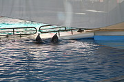 Attraction Framed Prints - Dolphin Show - National Aquarium in Baltimore MD - 121217 Framed Print by DC Photographer