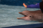 Dolphin Show - National Aquarium In Baltimore Md - 1212220 Print by DC Photographer