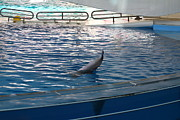Dolphin Metal Prints - Dolphin Show - National Aquarium in Baltimore MD - 121223 Metal Print by DC Photographer