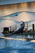 Dolphin Framed Prints - Dolphin Show - National Aquarium in Baltimore MD - 1212237 Framed Print by DC Photographer