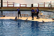 Md Posters - Dolphin Show - National Aquarium in Baltimore MD - 121225 Poster by DC Photographer