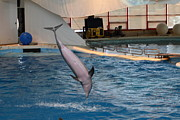 Dolphin Photo Framed Prints - Dolphin Show - National Aquarium in Baltimore MD - 1212268 Framed Print by DC Photographer