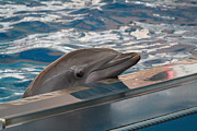Dolphin Show - National Aquarium In Baltimore Md - 1212282 Print by DC Photographer