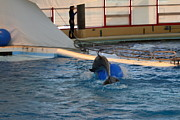 Aquarium Art - Dolphin Show - National Aquarium in Baltimore MD - 121243 by DC Photographer