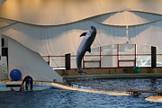 Dolphin Show - National Aquarium In Baltimore Md - 121255 Print by DC Photographer