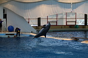 Fish Metal Prints - Dolphin Show - National Aquarium in Baltimore MD - 121257 Metal Print by DC Photographer