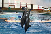 Historic Metal Prints - Dolphin Show - National Aquarium in Baltimore MD - 121280 Metal Print by DC Photographer