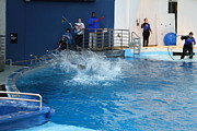 Dolphin Show - National Aquarium In Baltimore Md - 121293 Print by DC Photographer