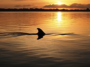 Florida Tapestries - Textiles Prints - Dolphin Sunrise Print by Fred Benavidez
