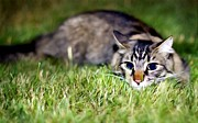 Paws Paintings - Domestic cat resting on green grass by Lanjee Chee