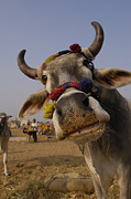 Cow Humorous Photos - Domestic Cattle India by Pete Oxford