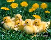 Hans Reinhard - Domestic Chicks