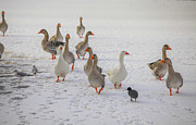 Patricia Hofmeester - Domestic goose on  ice