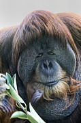 Orange Beards Prints - Dominant Male Orangutan Close Up Print by Joe Darin