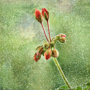 Red Geraniums Mixed Media Prints - Domination-textured Print by Gynt