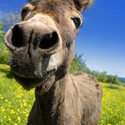 World Photo Prints - Donkey Print by Bernard Jaubert