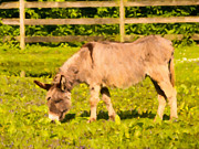 Donkey Digital Art Metal Prints - Donkey Grazing Metal Print by Wim Lanclus