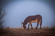 Donkey Foal Prints - Donkey in the Fog Print by Robert Bales