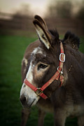 Donkey Photo Metal Prints - Donkey Metal Print by Shane Holsclaw
