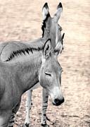 Donkey Digital Art Metal Prints - Donkeyflected Metal Print by Bill Tiepelman
