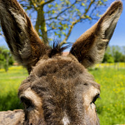 Donkey Prints - Donkeys ears Print by Bernard Jaubert